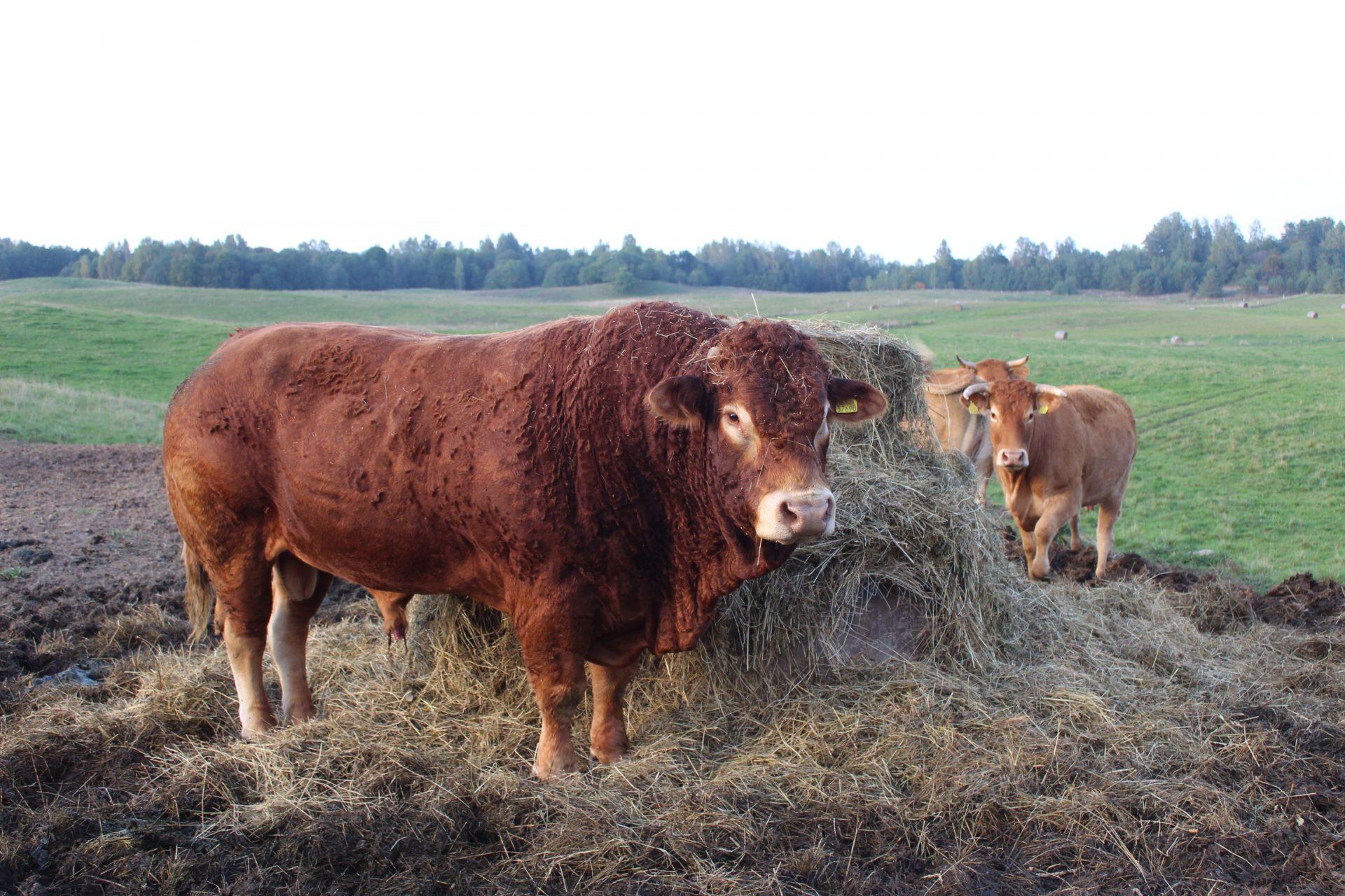 Jaunas Utenos rajono ūkininkas Arūnas Gimžauskas augina mėsinius limuzinų veislės galvijus.